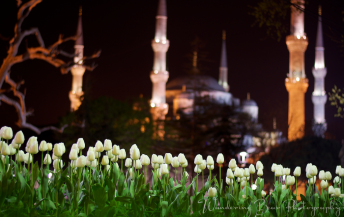 Tulips blooming in the foreground of the Blue Mosque.